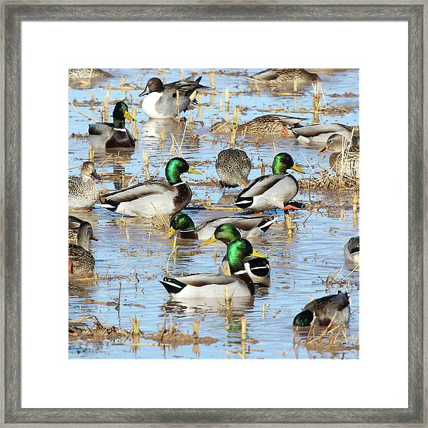Mostly Mallards Framed Print