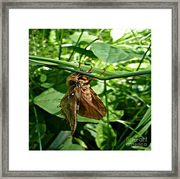 Moth At Rest Framed Print