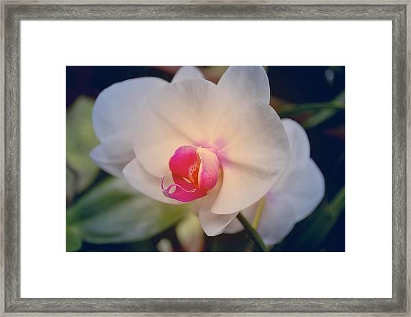Moth Orchid 1 Framed Print
