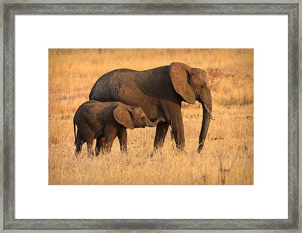 Mother And Baby Elephants Framed Print