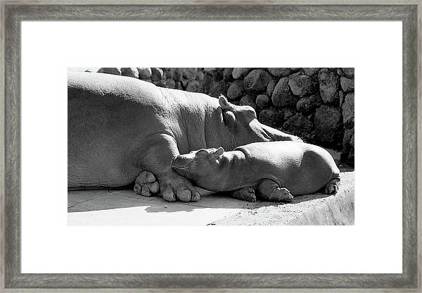 Mother And Baby Hippos Framed Print