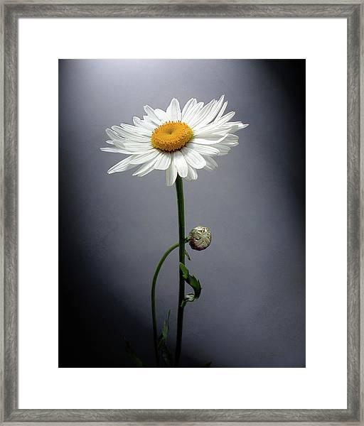Mother Daisy Framed Print