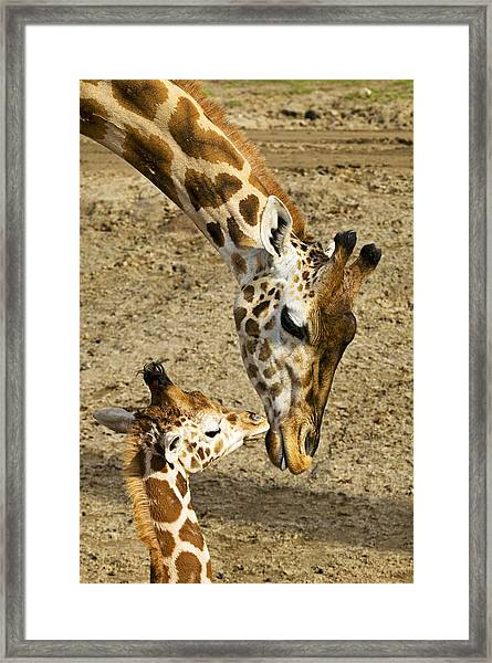 Mother Giraffe With Her Baby Framed Print