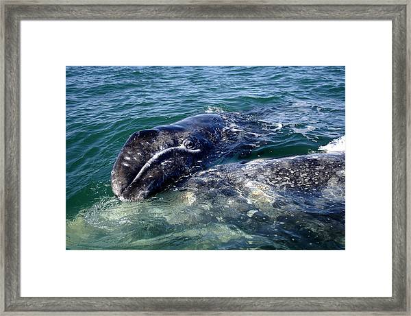 Mother Grey Whale And Baby Calf Framed Print