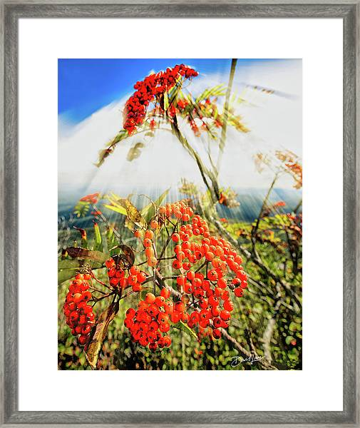 Framed Print featuring the photograph Mountain Ash Sunshine by David A Lane