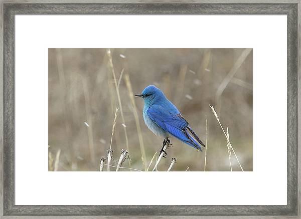 Mountain Blue Bird Framed Print