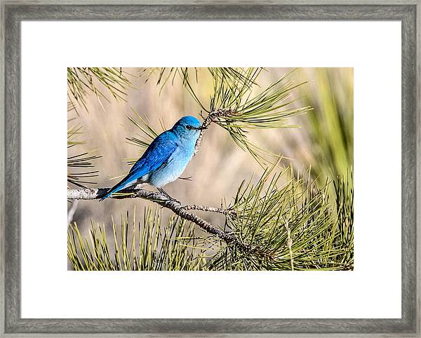 Mountain Bluebird In A Pine Framed Print