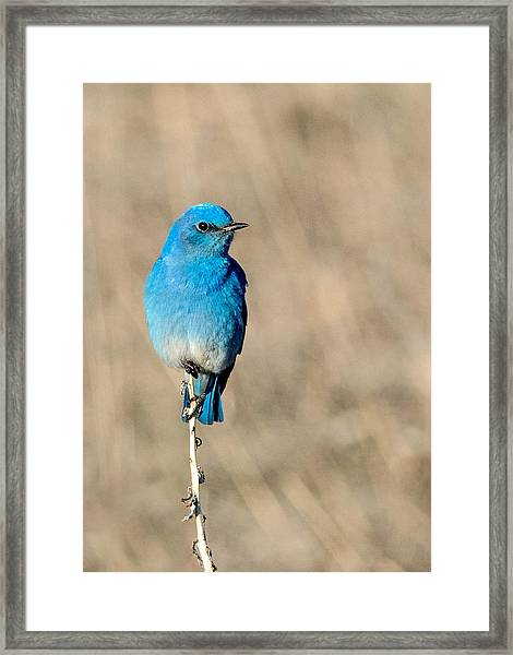 Mountain Bluebird On A Stem. Framed Print