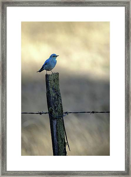Mountain Bluebird On Wood Fence Post Framed Print