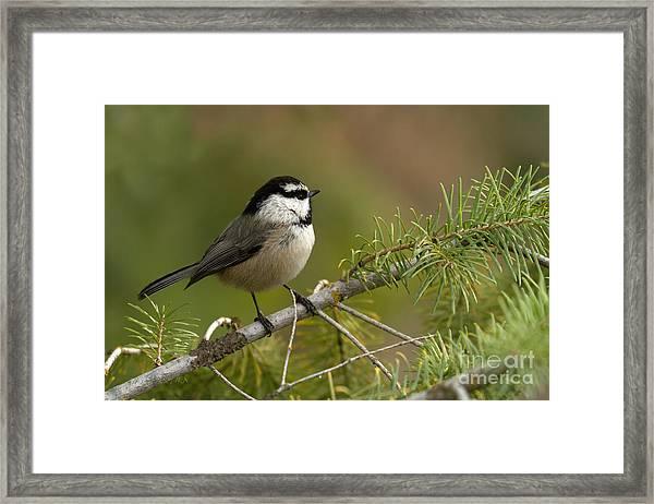 Mountain Chickadee Framed Print