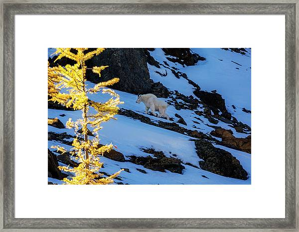 Mountain Goat And Larches Framed Print
