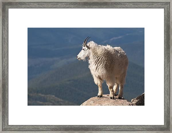 Mountain Goat Framed Print