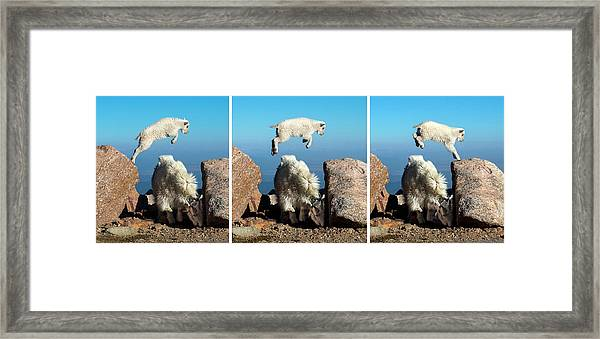 Mountain Goat Leap-frog Triptych Framed Print
