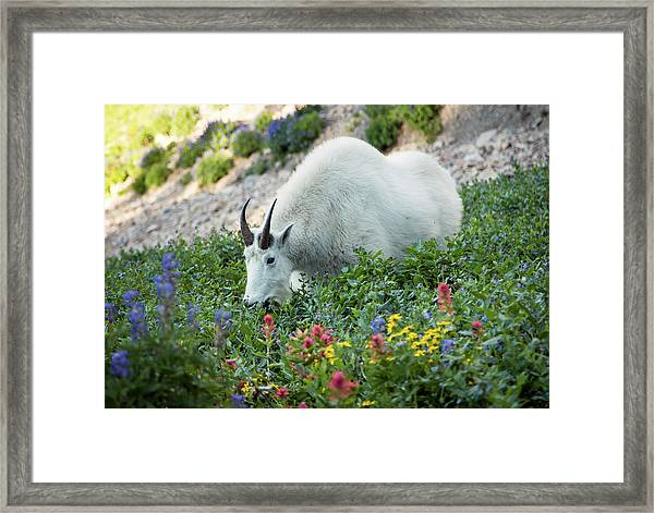 Mountain Goat On Timp Framed Print