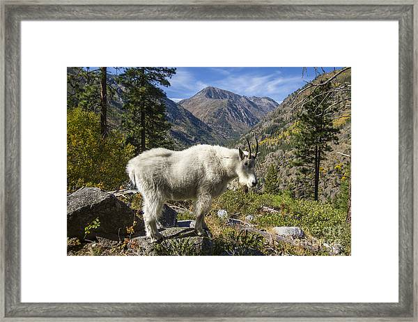 Mountain Goat Sentry Framed Print