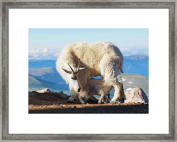 Mountain Goats Nanny And Kid Framed Print