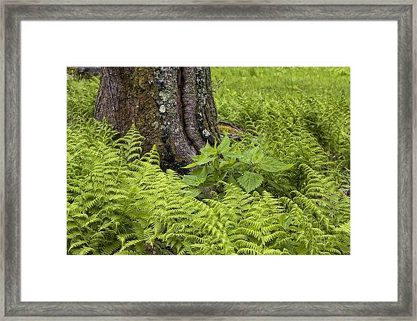 Mountain Green Ferns Framed Print