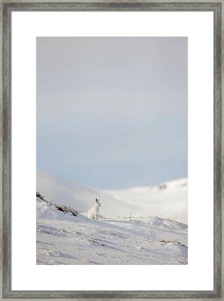 Mountain Hare On Hillside Framed Print