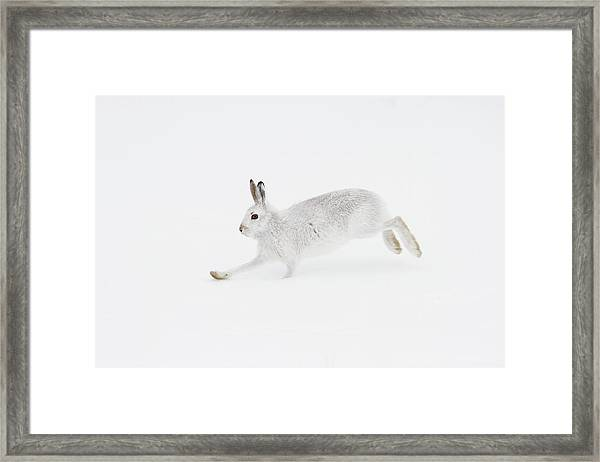 Mountain Hare Running Framed Print
