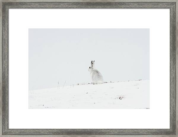Mountain Hare Sat In Snow Framed Print