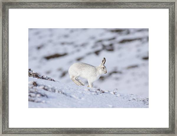 Mountain Hare - Scottish Highlands  #12 Framed Print