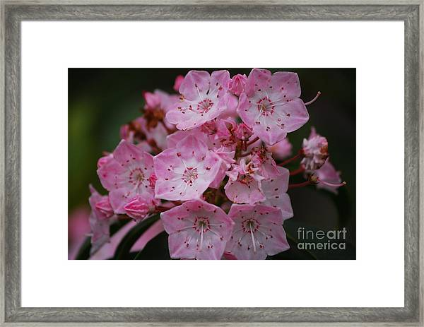 Mountain Laurel Bloom Framed Print