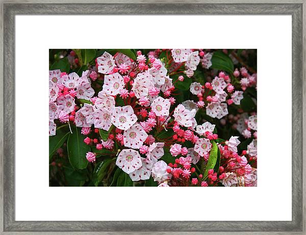 Mountain Laurels Framed Print