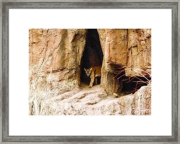 Mountain Lion In The Desert Framed Print