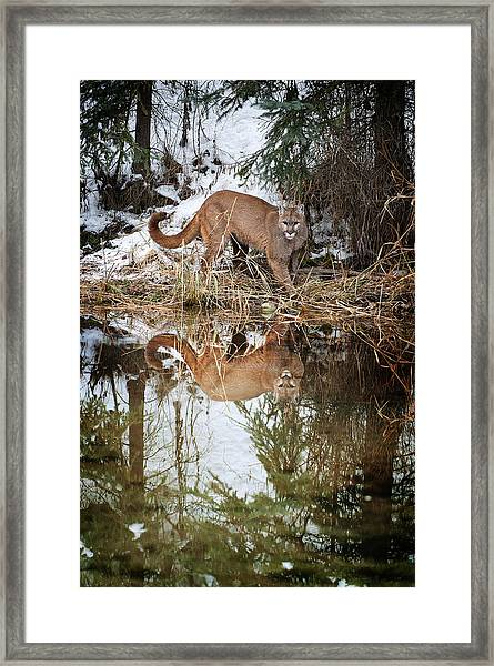 Mountain Lion Reflection Framed Print
