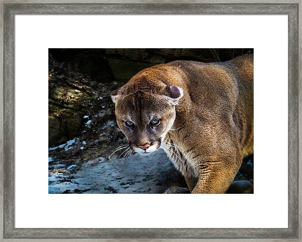 Mountain Lion Stare Down Framed Print