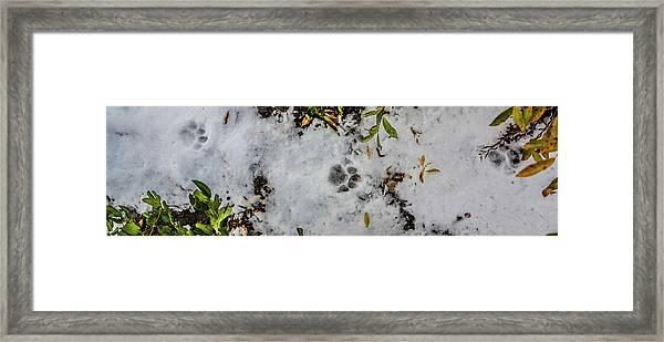 Mountain Lion Tracks In Snow Framed Print