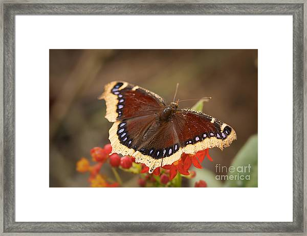 Mourning Cloak Butterfly Framed Print