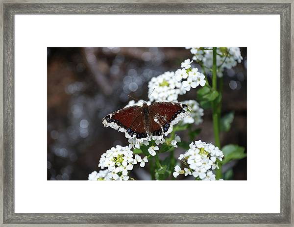 Framed Print featuring the photograph Mourning Cloak by Jason Coward