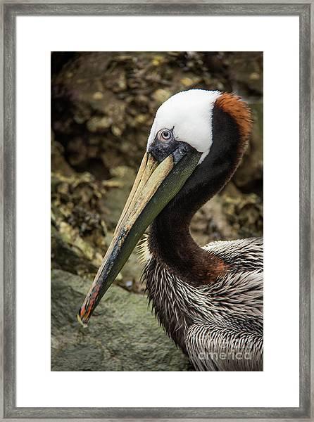 Mr. Cool Wildlife Art By Kaylyn Franks Framed Print