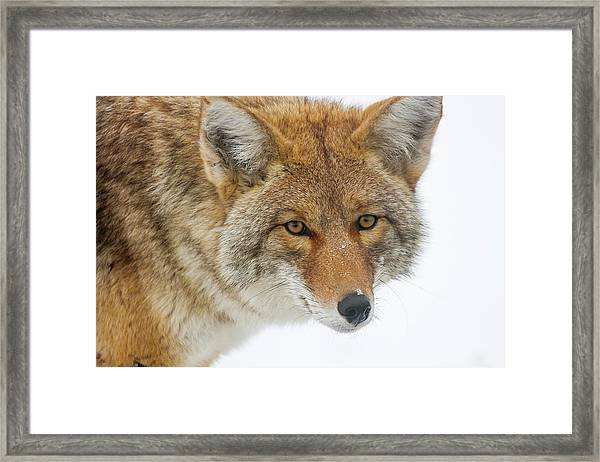 Mr. Coyote Framed Print