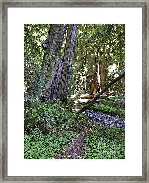 Muir Woods Beauty Framed Print