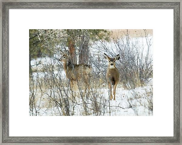Mule Deer Does In Snow Framed Print