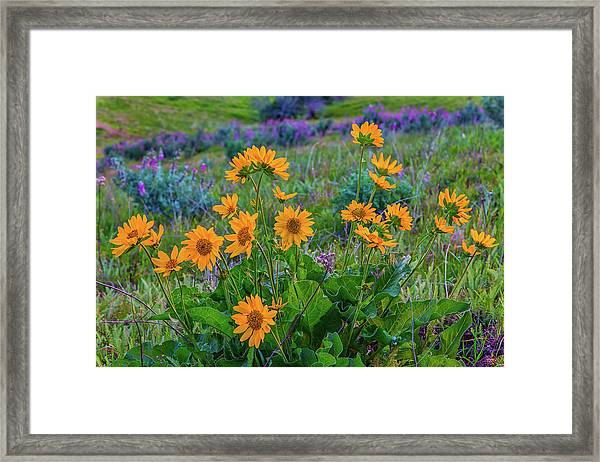Mule's Ear And Lupine Framed Print