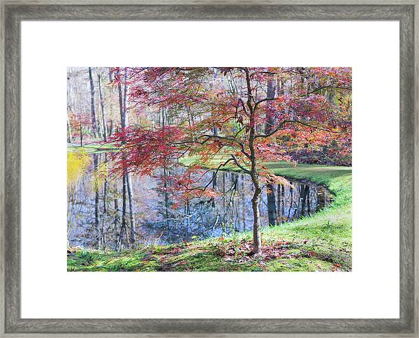 Multi Color Japanese Maple Framed Print