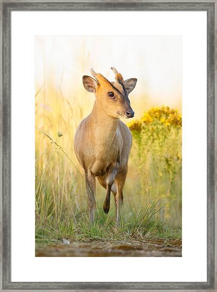 Muntjac Deer Framed Print