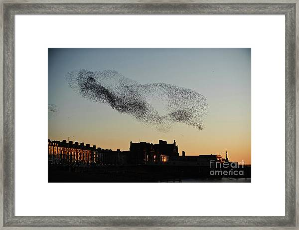 Murmuration Of Starlings Over Aberystwyth Wales Uk Framed Print