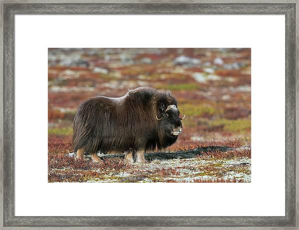 Muskox Framed Print