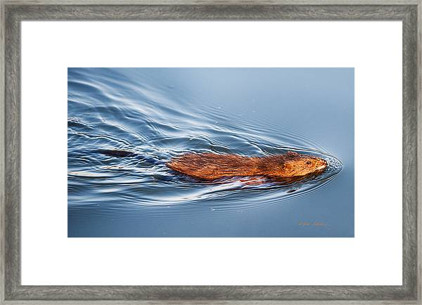 Muskrat Speed Swiming Framed Print