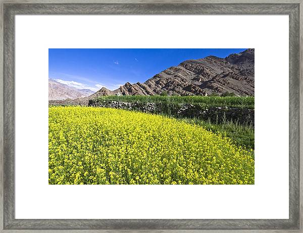 Mustard Field, Hemis, 2007 Framed Print