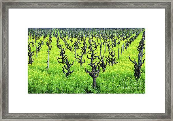 Mustard Flowers In The Vineyards Framed Print