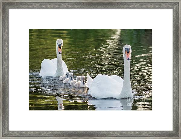 Mute Swan - Cygnus Olor -  Adult And Cute Fluffy Baby Cygnets, Swim Framed Print