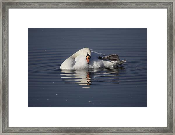 Mute Swan Resting In Rippling Water Framed Print