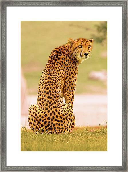 My Cheetah Framed Print