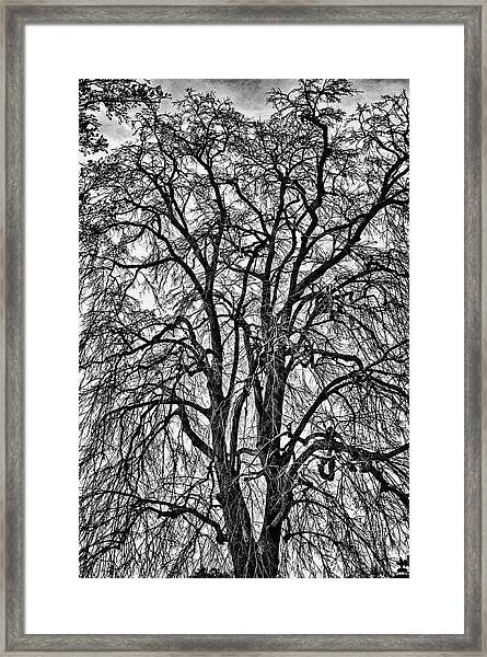 Naked Tree On Capitol Hill Framed Print