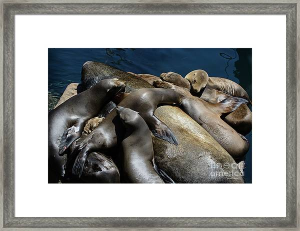 Napping Atop A Massive Sea Lion Framed Print